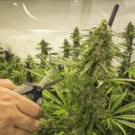 Best Marijuana Trimming Scissors