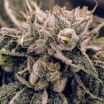Best Marijuana Strains for Growing in Small Spaces