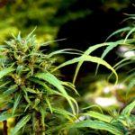 Best Marijuana Strains for Beginners in Grow Tent Growing